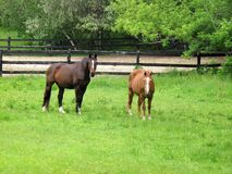 Brown horses grazing in a fenced pasture Stock Photo