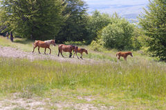 Brown horses Stock Images