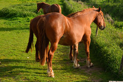 Brown horses grazing on a field, Norfolk, Baconsthorpe, United Kingdom. The Norfolk Coast Area of Outstanding Natural Beauty is a protected landscape in Norfolk royalty free stock photography
