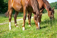 Brown horses grazing Stock Images