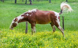 Brown horses grazing on a lush field covered with yellow flower field in Great smoky mountains national park,Tennessee USA. Brown horses grazing on a lush field royalty free stock photography