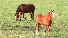 Brown horses grazing on meadow stock video