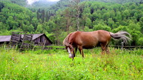 Brown horses grazing in mountain meadow stock video