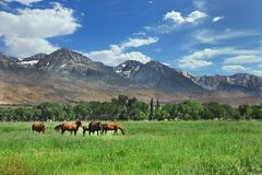 Brown Horses Grazing in the Mountain Meadows Stock Image