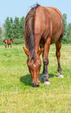 Brown horses grazing together Royalty Free Stock Photos