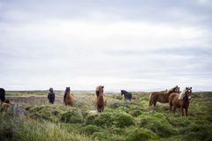 Brown Horses Green Field Blue Sky Stock Photo