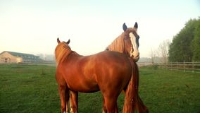 Brown horses on green field. Two horses grazing on pasture at animal farm stock video footage