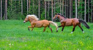 Brown horses on green field Stock Image