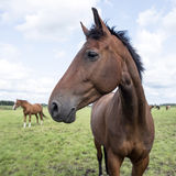 Brown horses in green grassy meadow in the netherlands Stock Photos