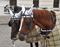 Brown horses with harness Stock Photography