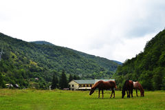 Brown horses landscape Stock Photo
