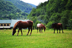 Brown horses landscape Stock Photography