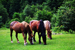 Brown horses landscape Stock Photos