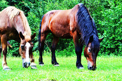 Brown horses landscape Royalty Free Stock Images