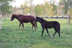 Brown horses on a meadow royalty free stock image