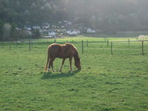Brown horses in a meadow. Picture of 2 brown horses in a meadow Royalty Free Stock Photos