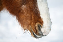Brown horses nostrils in winter.  Stock Photography