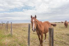 Brown horses. In a pasture behind a barbed wire fence Stock Images