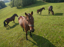 Brown horses on pasture Royalty Free Stock Photos