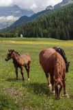 Brown Horses Pasturing in Grazing Lands: Italian Dolomites Alps Royalty Free Stock Image