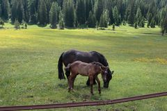 Brown Horses Pasturing in Grazing Lands: Italian Dolomites Alps Royalty Free Stock Photography