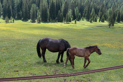 Brown Horses Pasturing in Grazing Lands: Italian Dolomites Alps Stock Photo