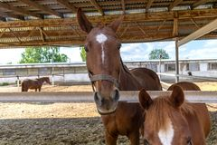 Brown horses in a pen close up royalty free stock photo