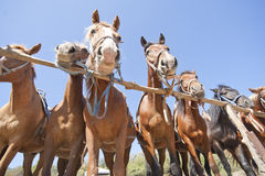 Brown horses on ranch Stock Photos