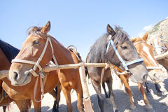 Brown horses on ranch Royalty Free Stock Photos