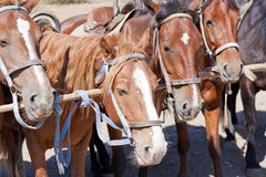 Brown horses on ranch Royalty Free Stock Photo