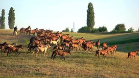 Brown horses running on grass. Clear sky over meadow. Breed of horses from Russia. Animals are being trained stock footage