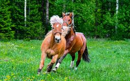 Brown horses running on meadow Stock Photography