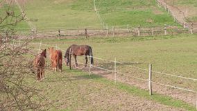 Brown horses running near fence in paddock at spring day. Brown horses running near fence in farm paddock at spring day. Mating dance. Three horses on green stock video footage