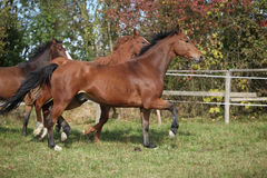 Brown horses running on pasturage Stock Image