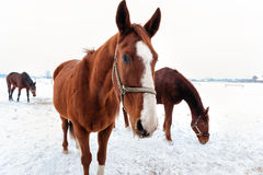 Brown horses in the snow Royalty Free Stock Photo