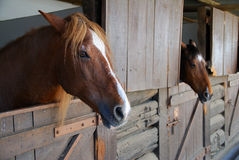 Brown horses in stable. Two brown horses in stable Stock Photos