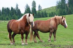 Brown horses Stallion with the blonde mane agitated by the w Stock Images