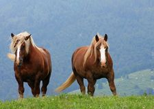 Brown horses stallions at the top of the mountain in summer Stock Photo