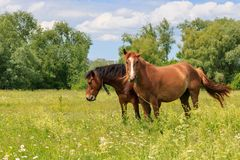 Brown horses stand in green grass of a meadow on a sunny summer day stock photo
