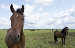Brown horses stand in green grassy meadow in the netherlands Royalty Free Stock Photography