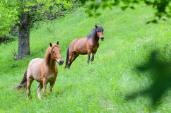 Brown horses Stock Photo