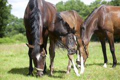 Foal is punched by brake. Brown horses on a summer pasture are stung by brakes and flies Royalty Free Stock Images
