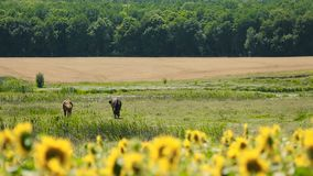 Brown Horses With Sunflowers. Sunflowers with two brown horses at background stock video