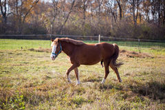 Brown  horses on a sunny day in automn. Brown  horses, farm, farmland, sunny day, horse, standing, show, sky Royalty Free Stock Photos