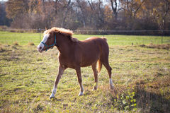 Brown  horses on a sunny day in automn Stock Photo