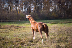 Brown horses on a sunny day in automn Stock Photos