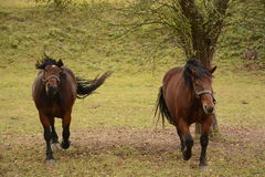 Brown horses Stock Image