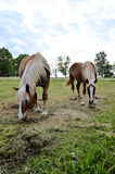 Brown horses Royalty Free Stock Photography