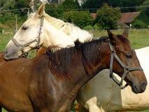 brown horses white Стоковая Фотография RF