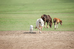 Brown horses, white bulls. In the meadow Royalty Free Stock Photos